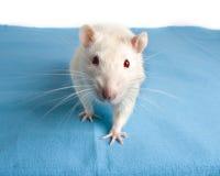 Ratto bianco Fotografia Stock