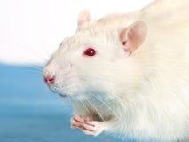 Ratto bianco Immagini Stock Libere da Diritti