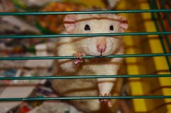 Ratto bianco dell'animale domestico Immagini Stock