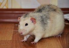 Ratto bianco dell'animale domestico Immagini Stock Libere da Diritti