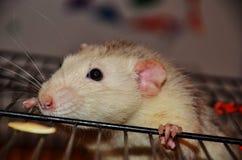 Ratto bianco dell'animale domestico Immagine Stock