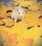 Ratto bianco dell'animale domestico Fotografia Stock