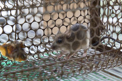 Ratto bloccato nella gabbia Immagini Stock Libere da Diritti