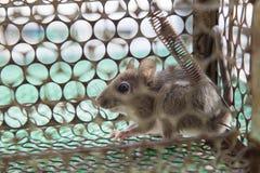 Ratto bloccato nella gabbia Fotografia Stock Libera da Diritti