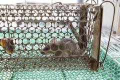 Ratto bloccato nella gabbia Immagine Stock Libera da Diritti