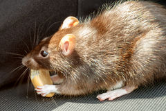 Ratto che mangia dolce Fotografia Stock Libera da Diritti