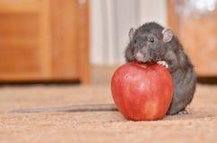 Ratto con Apple Fotografie Stock Libere da Diritti