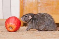 Ratto con Apple Fotografie Stock