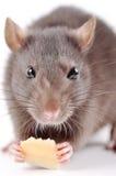 Ratto con formaggio su una priorità bassa bianca Fotografie Stock Libere da Diritti