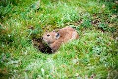 Ratto del pascolo Fotografia Stock