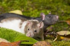 ratto dell'animale domestico Immagine Stock Libera da Diritti