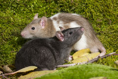 ratto dell'animale domestico Fotografie Stock Libere da Diritti