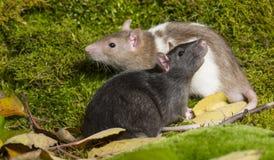 ratto dell'animale domestico Fotografia Stock Libera da Diritti