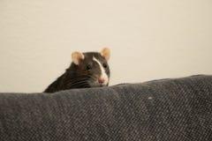 Ratto dell'animale domestico che sembra divertente Fotografie Stock