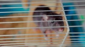 Ratto dell'animale domestico in una gabbia stock footage