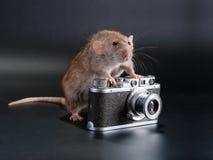 Ratto della razza di Dumbo Fotografie Stock Libere da Diritti