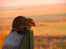 Ratto della savanna Immagini Stock Libere da Diritti