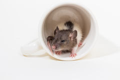 Ratto di Brattleboro, ratto del laboratorio Fotografia Stock Libera da Diritti