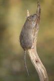 Ratto di Brown Fotografie Stock