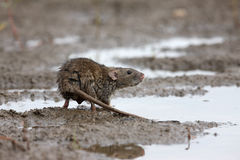 Ratto di Brown, norvegicus del Rattus Immagine Stock Libera da Diritti