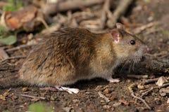 Ratto di Brown - norvegicus del Rattus Fotografia Stock Libera da Diritti
