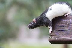Ratto di fogna in bianco e nero fuori Fotografia Stock
