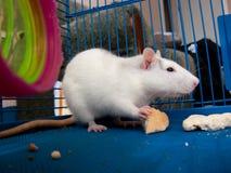 ratto domestico Immagini Stock Libere da Diritti