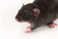 ratto domestico Immagine Stock