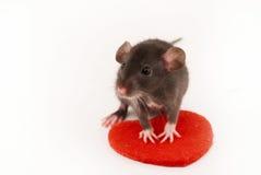 Ratto domestico Fotografia Stock