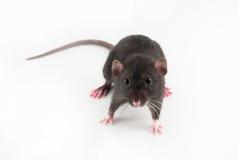 ratto domestico Fotografia Stock Libera da Diritti