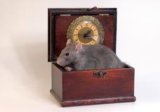 Ratto domestico che si siede nel caso di legno Fotografia Stock