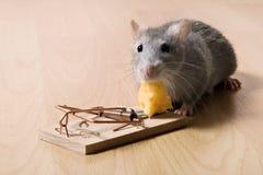 Ratto e formaggio Immagini Stock Libere da Diritti