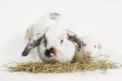 Ratto ed amico Coniglio e cavia che mangiano l'erba del fieno della coda di todo fotografie stock