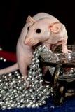 Ratto glabro e collana Fotografie Stock