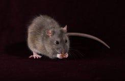 Ratto grigio con un cereale Fotografie Stock Libere da Diritti