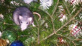 Ratto grigio di Natale sui precedenti di un albero di Natale naturale Simbolo del nuovo anno 2020 nel calendario cinese immagini stock libere da diritti