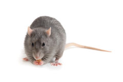 Ratto grigio isolato su fondo bianco Fotografia Stock Libera da Diritti