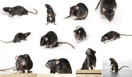 Ratto grigio nelle pose differenti Immagini Stock