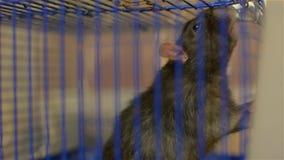 Ratto grigio in una gabbia blu Giovane animale domestico video d archivio