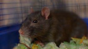 Ratto grigio in una gabbia blu Giovane animale domestico stock footage