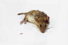 Ratto guasto Fotografia Stock