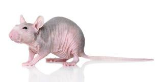Ratto Hairless su un bianco fotografia stock libera da diritti