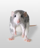 Ratto infelice Fotografia Stock Libera da Diritti