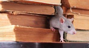 Ratto in libreria Immagini Stock