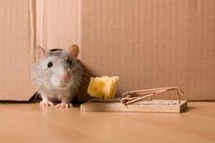 Ratto, mousetrap e formaggio Fotografia Stock Libera da Diritti