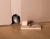 Ratto, mousetrap e formaggio Immagini Stock