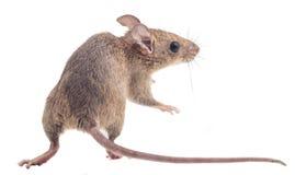 Ratto nero isolato Fotografia Stock Libera da Diritti