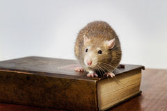 Ratto sul libro Immagini Stock