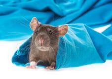 Ratto sveglio dell'animale domestico in una manica immagini stock
