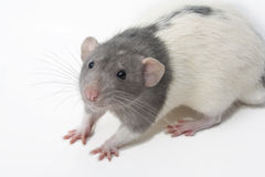 Rattus Norvegicus Dumbo Fancy Rat. Hooded gray dumbo fancy rat on white background Royalty Free Stock Photos